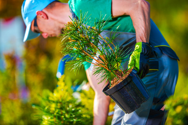 A male volunteer planting a pine tree